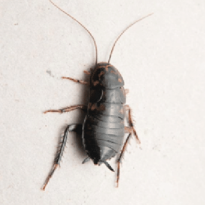 Best Oriental Cockroaches control services