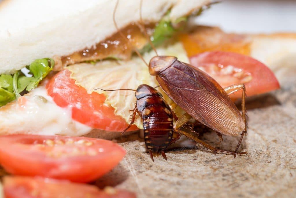 German Cockroach Control Service Sydney